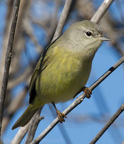 Orange-crowned warbler1.jpg
