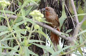 Description de l'image Orange-eyed Thornbird. 01.jpg.
