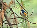Orange-flanked Bush Robin (Tarsiger cyanurus) (46593711601).jpg