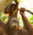 Orangutan (13968756513).jpg