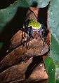 Orb Spider (Eriophora nephiloides) (36997018665).jpg