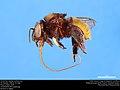 Orchid bee (Apidae, Eufriesea sp.) (37172154981).jpg