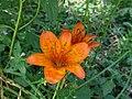 Orchidea Silana - panoramio.jpg