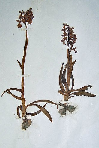 Joseph Whittaker - Orchis morio (green-winged orchid). one of Whittaker's pressed plants in Derby Museum herbarium
