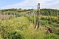 Organic Chianti vineyard with expansive cover crop Italia 2010.jpg