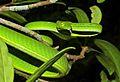 Oriental Vine Snake (Ahaetulla prasina) (8753295585).jpg