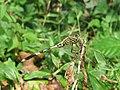 Orthetrum sabina - Green Marsh Hawk at Mayyil (3).jpg