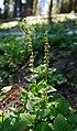 Orthilia secunda green fruit near Blewett Pass summit.jpg
