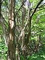 Osage Orange (Hedge Tree) 082.jpg