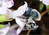 Blue calamintha bee