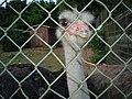 Ostrich( Brijuni ) - panoramio.jpg