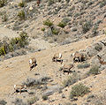 Ovis canadensis nelsoni Spring Mountains 1.jpg
