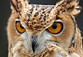 Owl 1 (6796286360).jpg