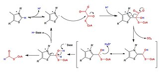 Oxalyl-CoA decarboxylase - Image: Oxalyl Co A Mechanism