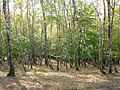 Pădurea de argint Dobreni 06.JPG