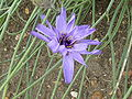 P1000573 Catananche caerulea (Blue Cupidone) (Compositae) Flower.JPG