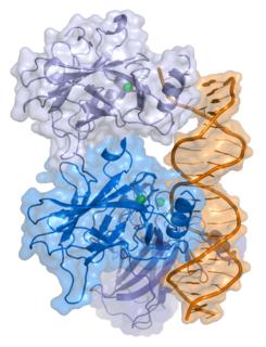 p53 protein-coding gene in the species Homo sapiens