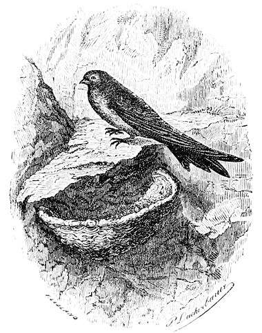 PSM V44 D618 The swallow with an edible bird nest.jpg