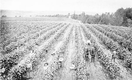 PSM V45 D766 Tying grapes in summer.jpg