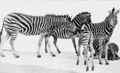 PSM V63 D094 The transvaal zebra.png
