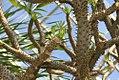 Pachypodium geayi 5zz.jpg