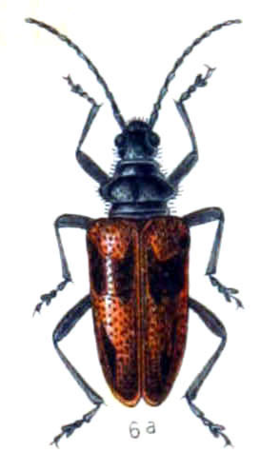Pachyta lamed