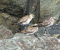 Pacific Golden Plovers. Pluvialis fulva - Flickr - gailhampshire.jpg