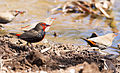 Painted Firetail 3 (19693127593).jpg