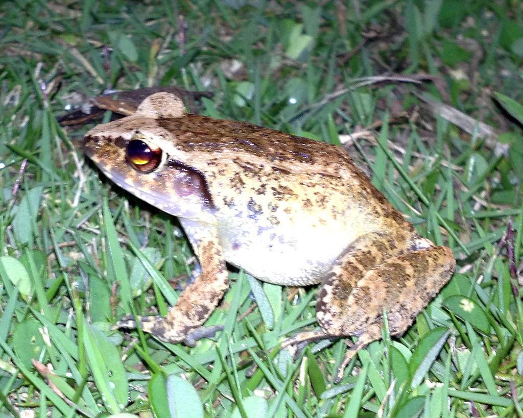 Palau Frog Platymantis pelewensis photographed in Koror Palau in May 2013.jpg