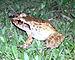 75px palau frog platymantis pelewensis photographed in koror palau in may 2013