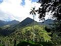 Palma de cera del Quindío (Ceroxylon quindiuense) - Flickr - Alejandro Bayer.jpg