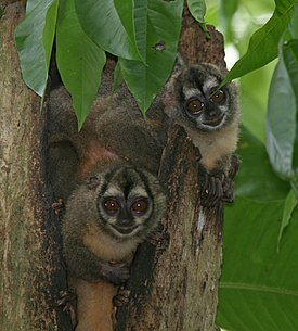 Panamanian Night Monkeys.jpg