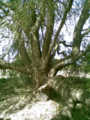 Panke-Baum-Karow-August-200.png