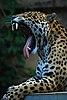 Panthera onca at the Toronto Zoo.jpg
