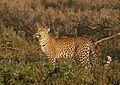 Panthera pardus 1 (Martin Mecnarowski).jpg
