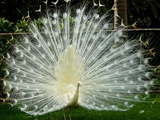 Peafowl - A leucistic Indian peacock