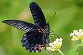 Papilio memnon heronus male 20140712.jpg