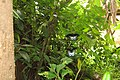 Papilio polymnestor Cramer, 1775 – Blue Mormon at Mayyil (1).jpg
