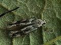 Parachronistis albiceps - Wood groundling (40906094781).jpg