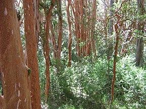 El bosque de arrayanes, en la punta de la península de Quetrihué