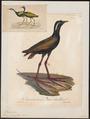 Parra indica - 1825-1834 - Print - Iconographia Zoologica - Special Collections University of Amsterdam - UBA01 IZ17500283.tif