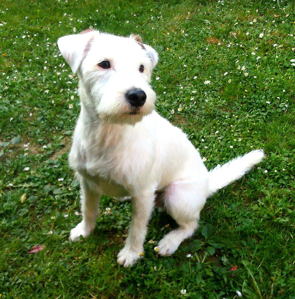 La raza Parson russell terrier es propensa a sufrir de sordera