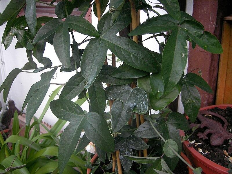 File:Passiflora433.jpg