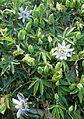 Passiflora caerulea kz3.jpg