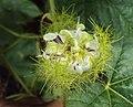 Passiflora foetida 30.JPG