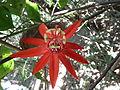 Passiflora vitifolia (Passiflore a feuilles de vigne) P1090191.JPG