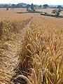 Path through the wheatfield at Bayton - geograph.org.uk - 206542.jpg