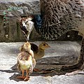 Peacock & Peachicks (14692112275).jpg