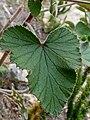 Pelargonium cordifolium Potberg leaf.jpg