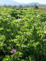 90px-Pelargonium_graveolens_1.JPG
